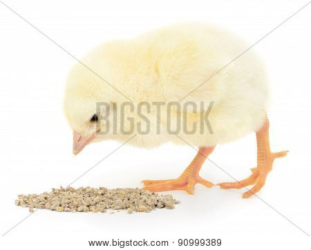 Baby Chicken Having A Meal