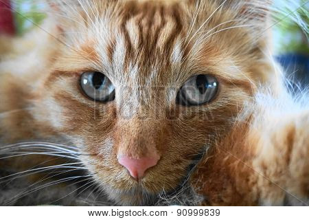 Orange Tabby Cat Close Up with Blue Eyes