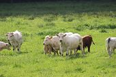 pic of clos  - Group Of Cows Grazing On The Meadow  - JPG