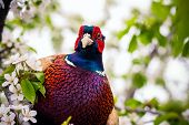 picture of pheasant  - pheasant sitting in the branches of a flowering cherry tree - JPG