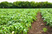 picture of potato-field  - potato field rows with green bushes - JPG