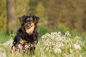 picture of border terrier  - A dog sits in a flower meadow and looks into the camera - JPG