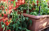 pic of tomato plant  - red tomato plant and green plants on the pot in the balcony in the house - JPG