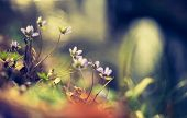image of wildflowers  - Vintage photo of liverworts flowers blooming in springtime forest - JPG