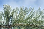 picture of pine-needle  - layer of ice covering evergreen pine needles - JPG