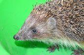 stock photo of mammal  - Ordinary hedgehog on a green background - JPG