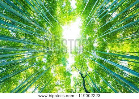 Arashiyama Bamboo Trees Radial Looking Directly Up