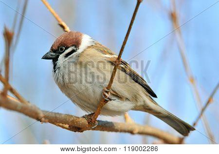 The Eurasian tree sparrow (Passer montanus)