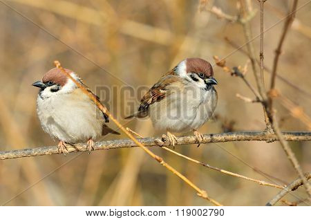 Sparrows sitting on a branch.