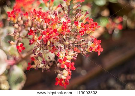 Kalanchoe Flowering Plant In Home Garden