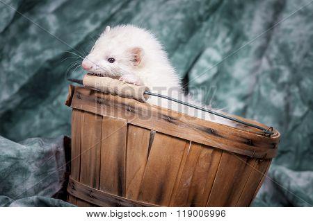White Ferret In Basket.