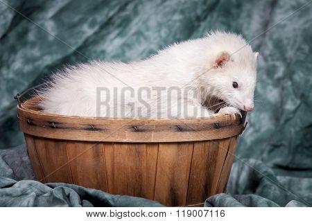 Ferret Nibbles On Basket.