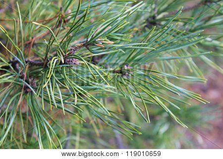 Needles of pine