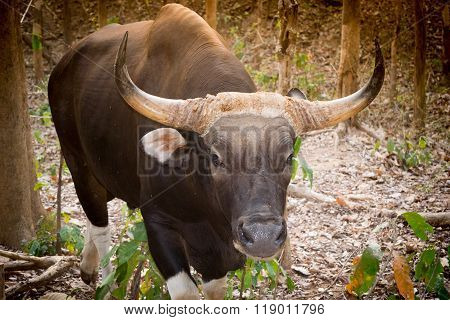 Gaur Or Indian Bison In The Forest