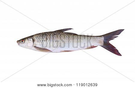 Seven-striped Barb Or Julian's Golden Carp Is In The Freshwater Fish On White Background.