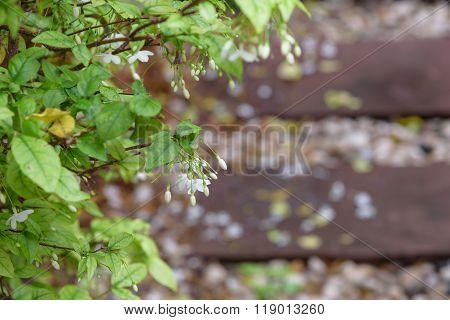 Orang Jessamine flower in garden . .
