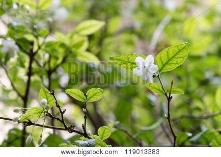 a Orang Jessamine flower in garden nature