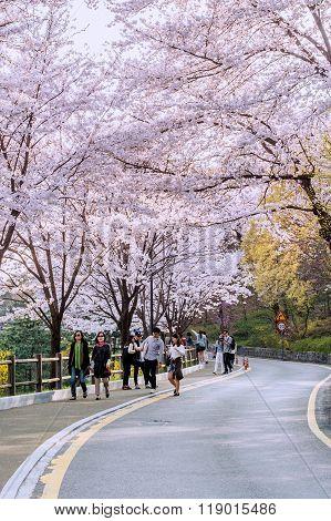 Cherry blossom in Seoul tower namhansan.