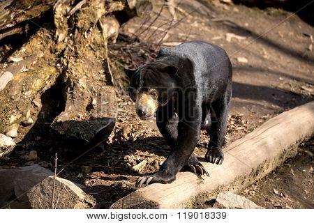 Malaysian Bear