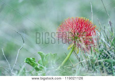 Blood Lily Flower In Kruger National Park, South Africa
