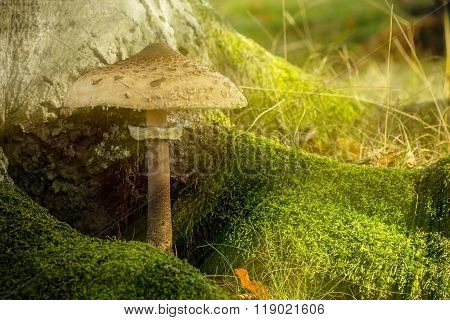 Parasol Fungus And Moss In The Shade