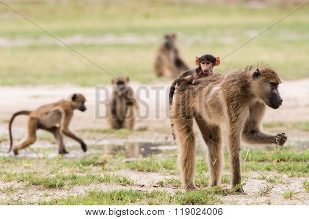 Young Baby Baboon On Moms Back
