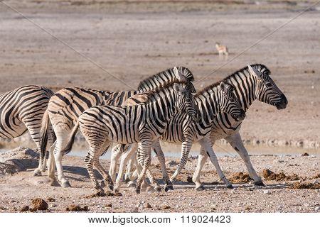 Zebra Group Etosha