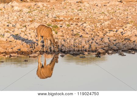 Female Kudu Alone At Waterhole