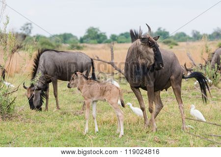 Adult And Calf Blue Wildebeest