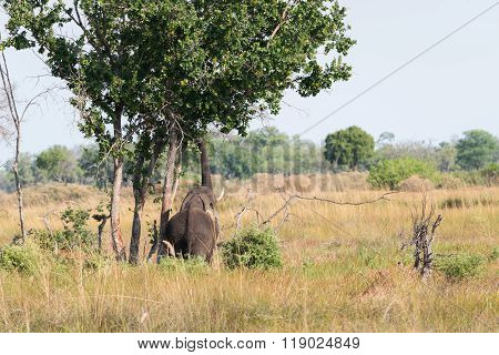 Elephant Reaching Into Tree