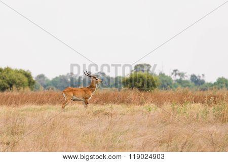 Red Lechwe In Botswana