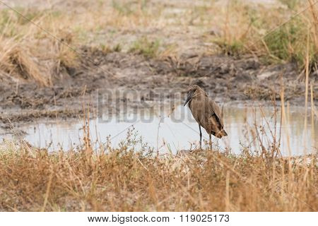 Hamerkop By Water