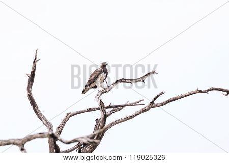 Martial Eagle Okavango Delta