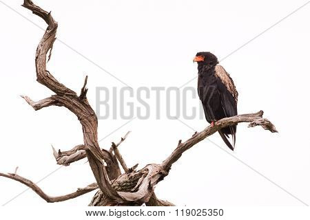 Bateleur In Dead Tree