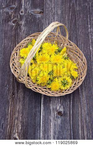 Bunch Of Fresh Dandelions In Wicker Basket