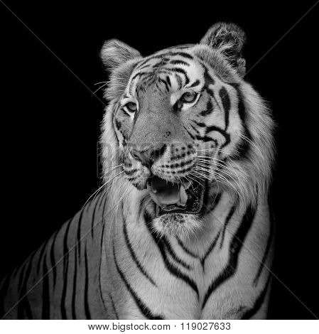 close up black and white  tiger isolated on black background