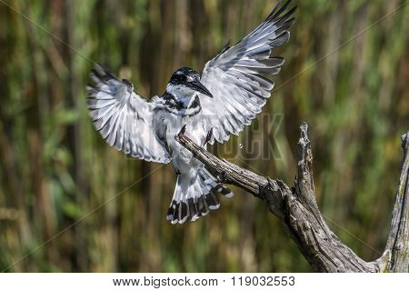 Pied Kingfisher In Kruger National Park, South Africa