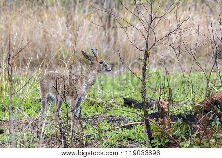 Steenbok In Kruger National Park, South Africa
