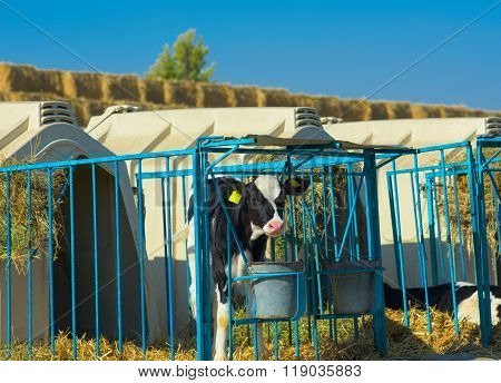 Calf On The Farm