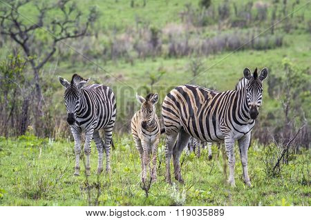 Plains Zebra In Kruger National Park, South Africa