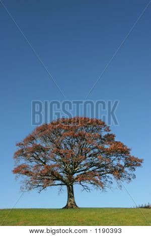 Autumnal Oak