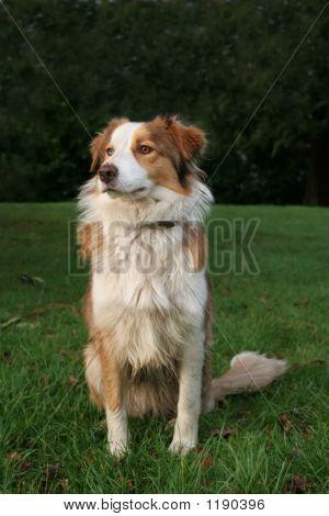 Blue Merle Collie Sheep Dog