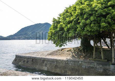 Ficus superba tree
