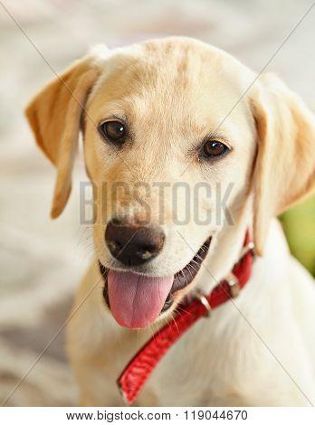 Young Labrador Retriever Dog