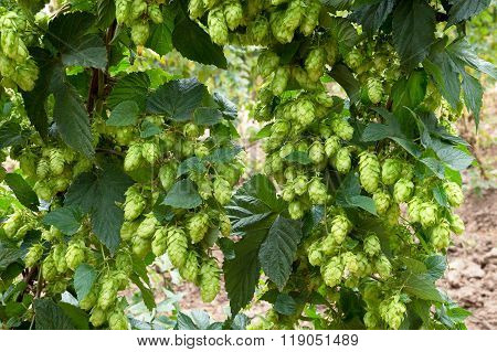 Hop Cones, Raw Material For Beer Production