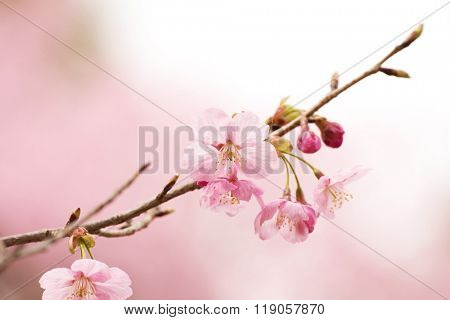 Cherry blossom or cherry flower in full bloom close-up. Thin delicate flower petals and pastel pink background.