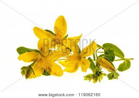 Yellow flowers of medicinal plant St. John's Wort close up with buds and leaves isolated on white background