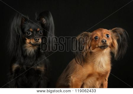 Two Russian toy terrier on a black background.