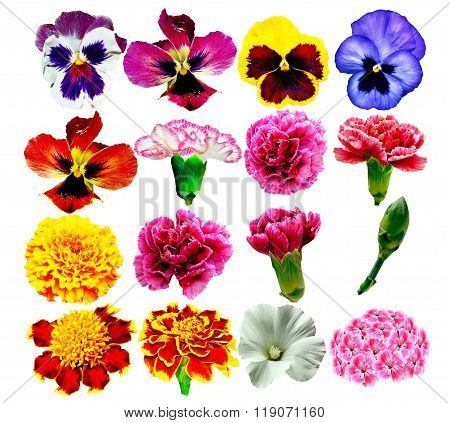 Buds Of Colorful Flowers Isolated On White Background.