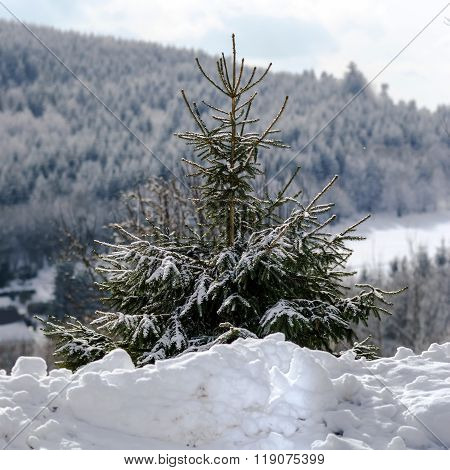 Beautiful Snow-covered Fir Trees In Winter Forest
